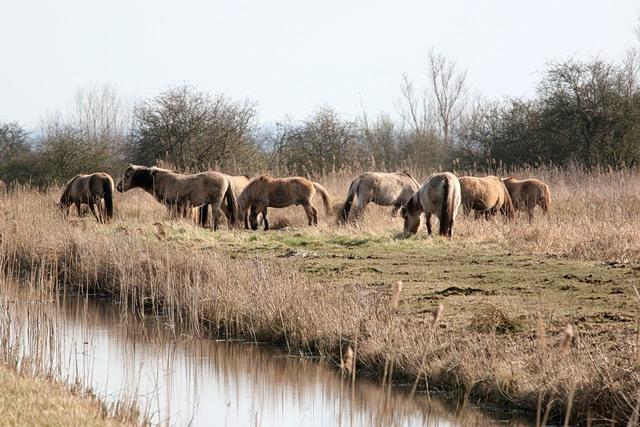 Herd of Konik Ponies, Wicken Fen - geograph.org.uk - 1760619