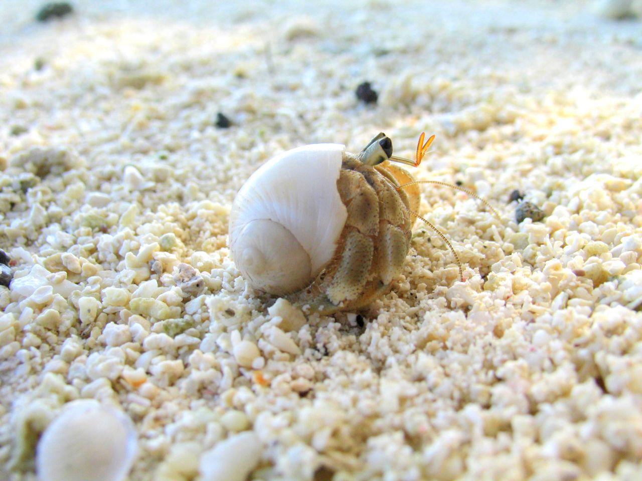Hermit crab - photo#10