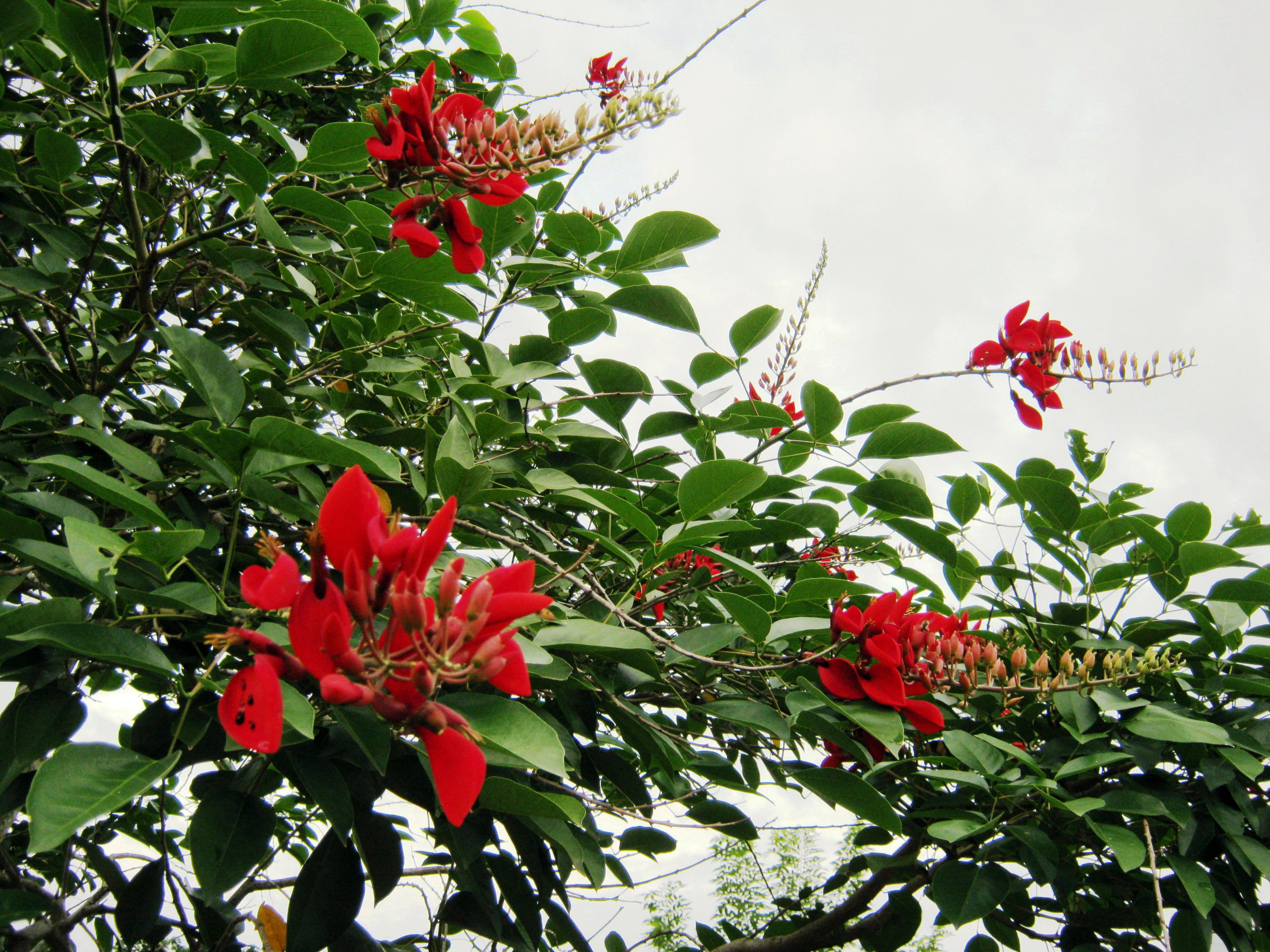File:Hoa hoàng hậu đỏ.jpg - Wikimedia Commons