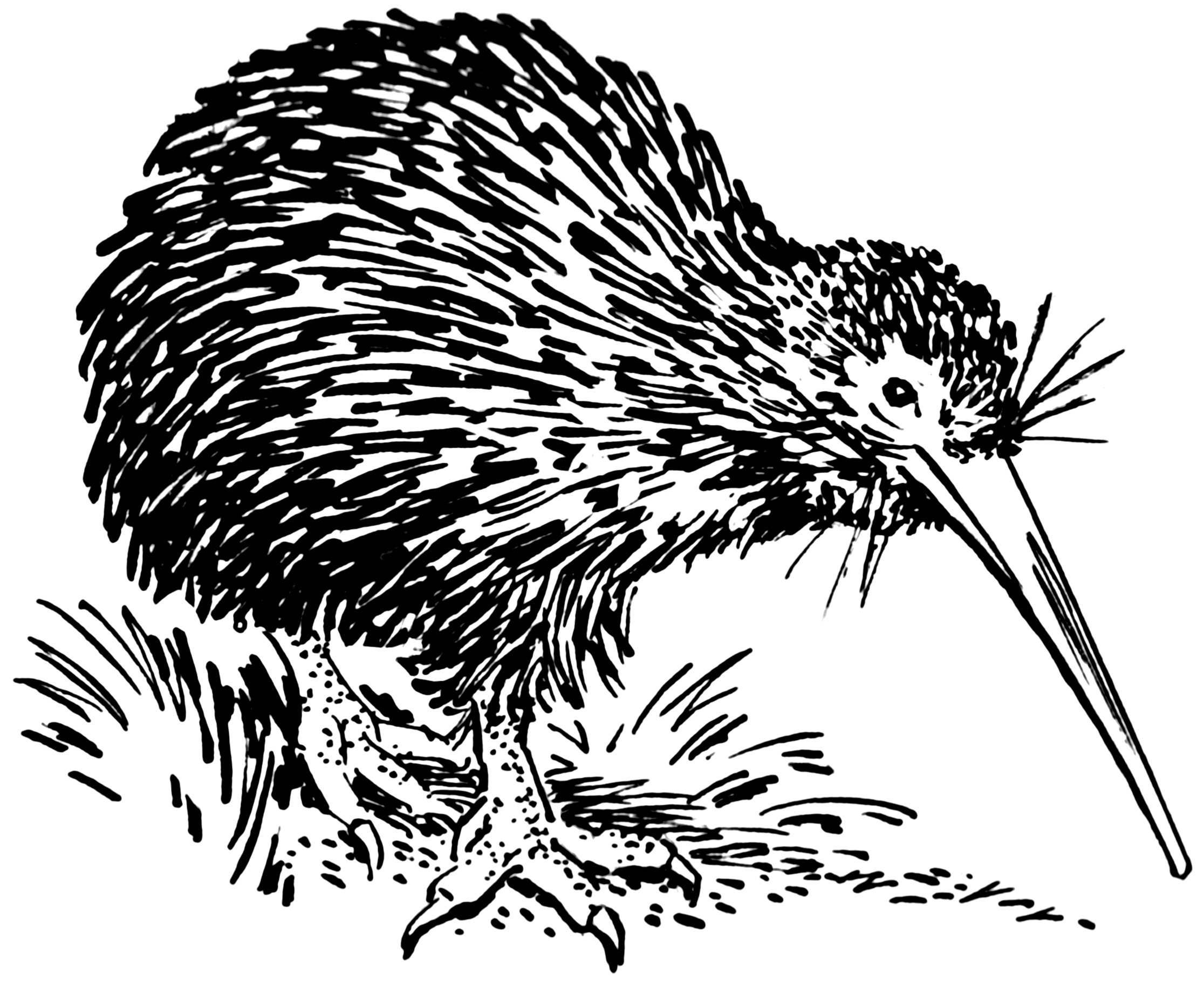 Line Drawing Of New Zealand : File kiwi psf wikimedia commons
