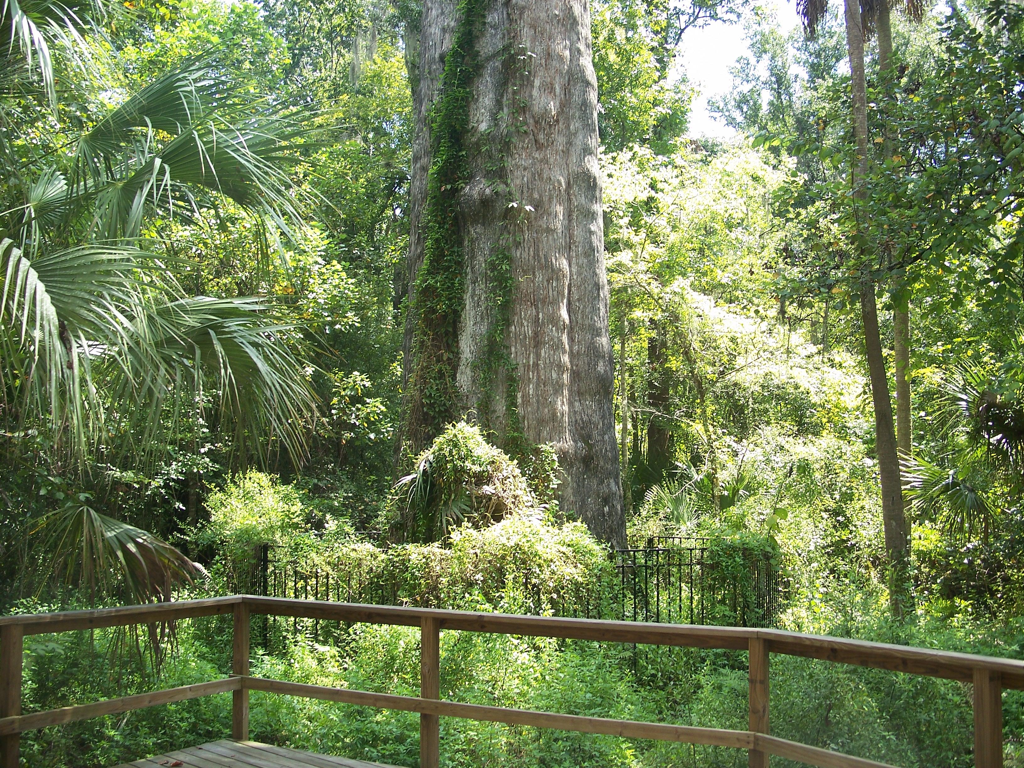Senator Tree