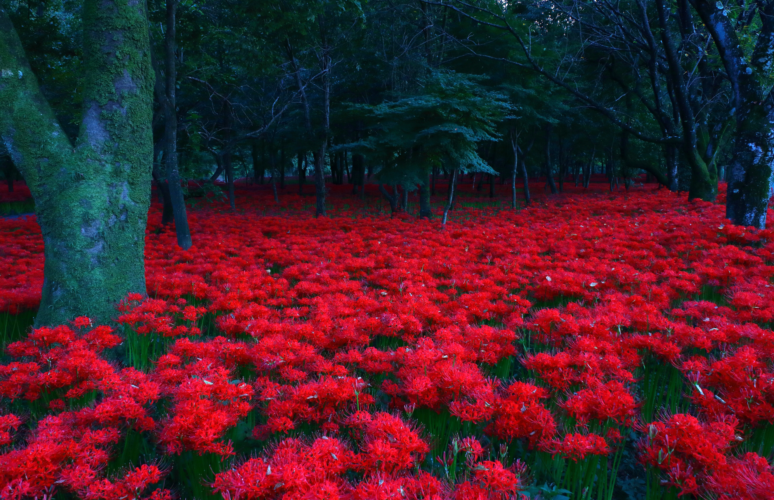 Red spider lilies are believed by japanese buddhists to grow in the picturered izmirmasajfo