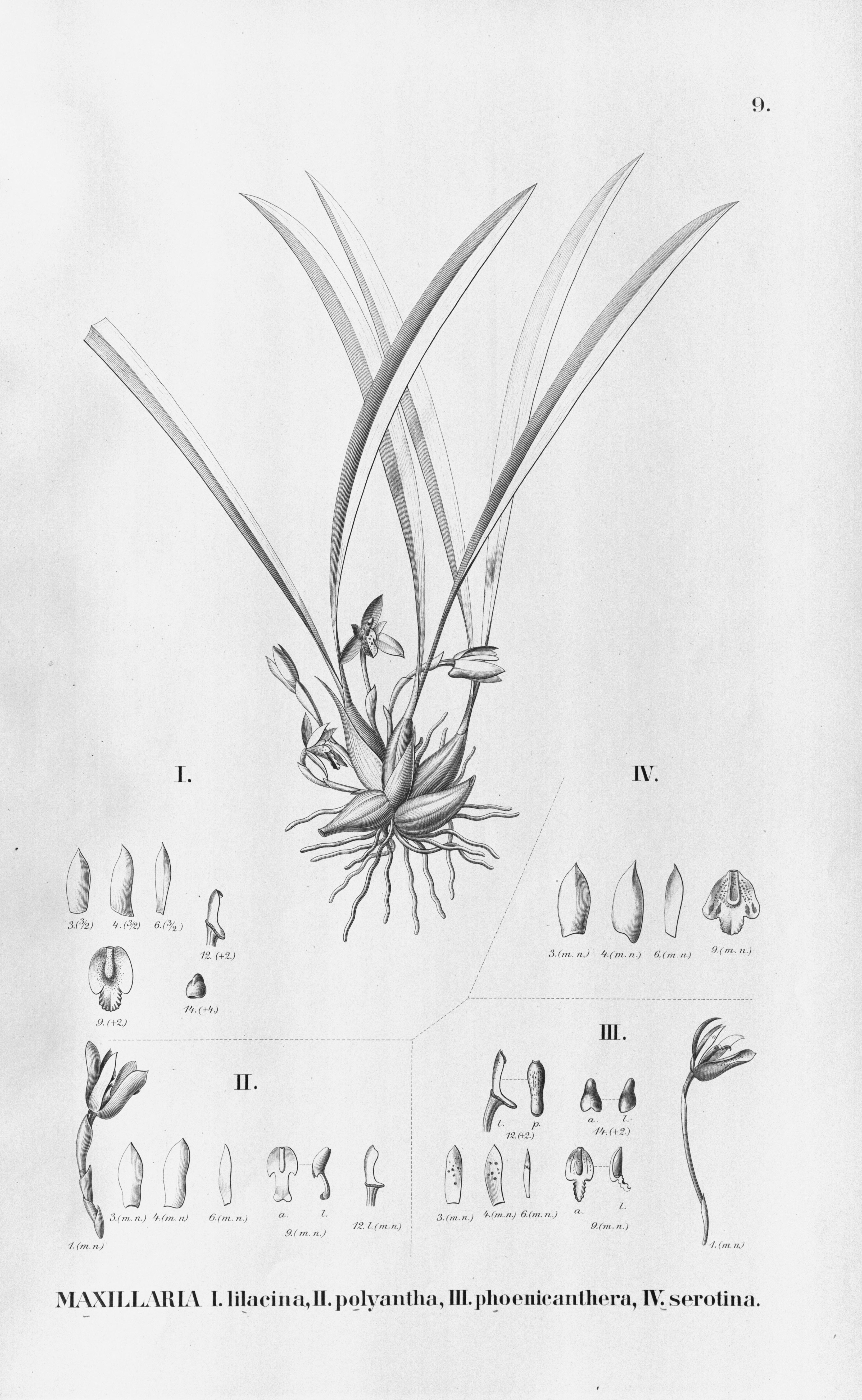 Tập tin:Maxillaria lilacea - Brasiliorchis polyantha (as Maxillaria p.) -  Brasiliorchis