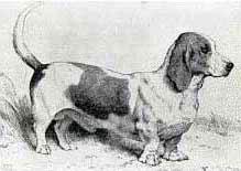 Бассет-хаунд – порода собак