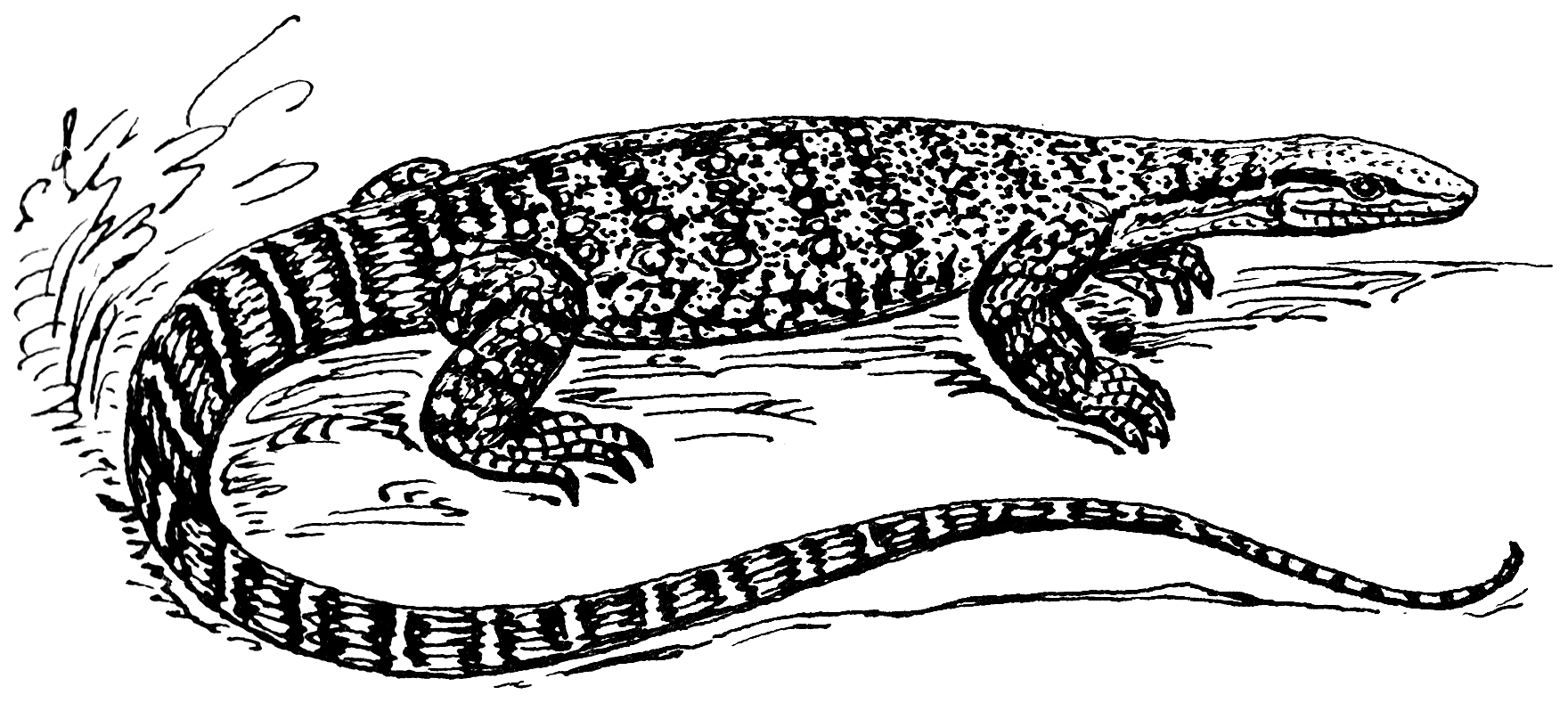 Line Drawing Lizard : File monitor lizard psf wikimedia commons
