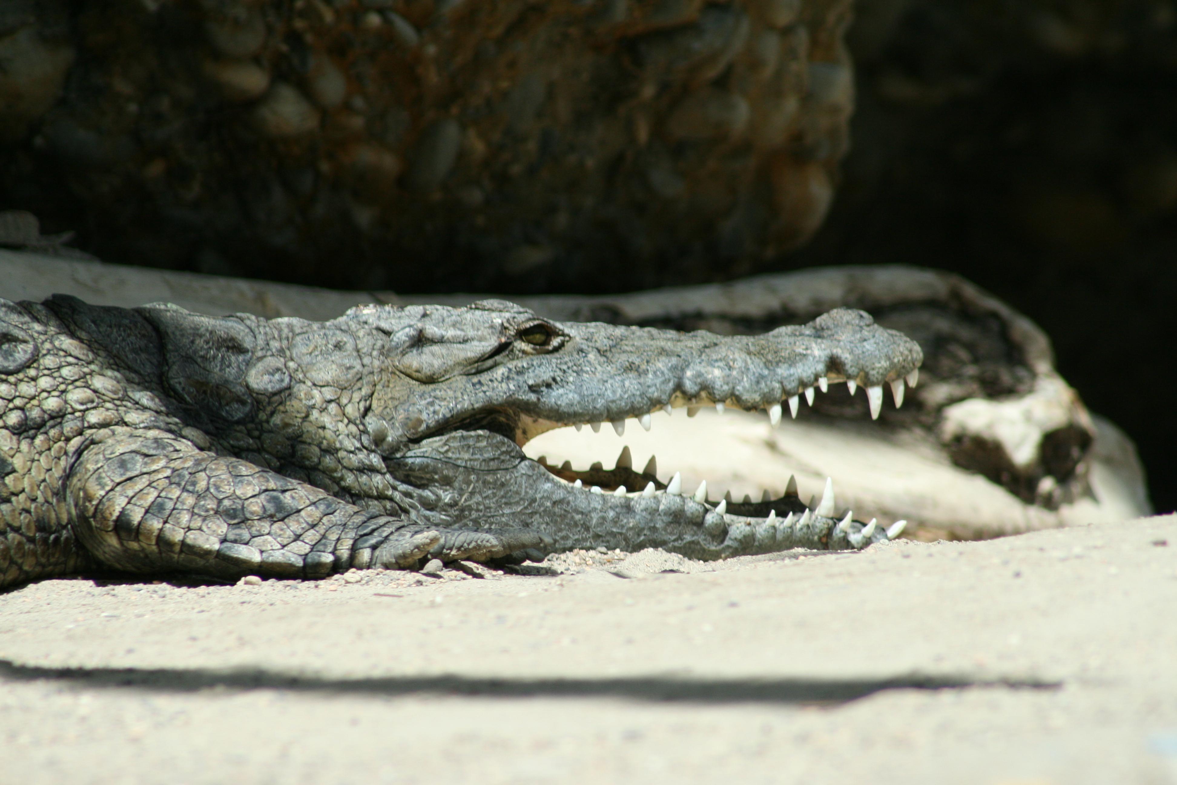 Fantastisch Nil Krokodil Färbung Seite Zeitgenössisch - Malvorlagen ...