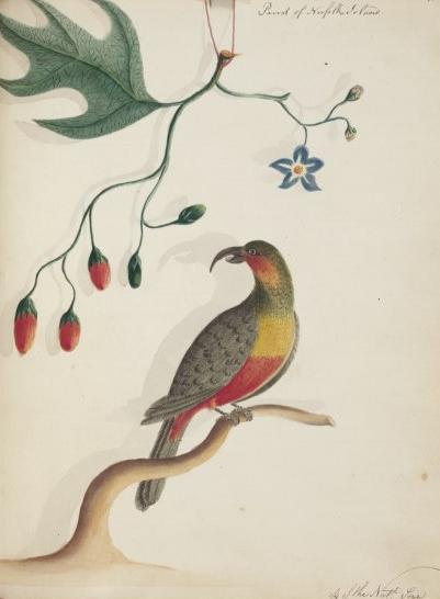 Norfolk kaka -Taxonomy