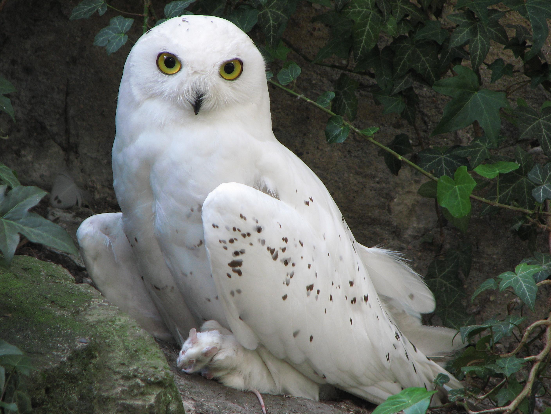http://upload.wikimedia.org/wikipedia/commons/b/bf/Nyctea-scandiaca-snowy-owl-0a.jpg