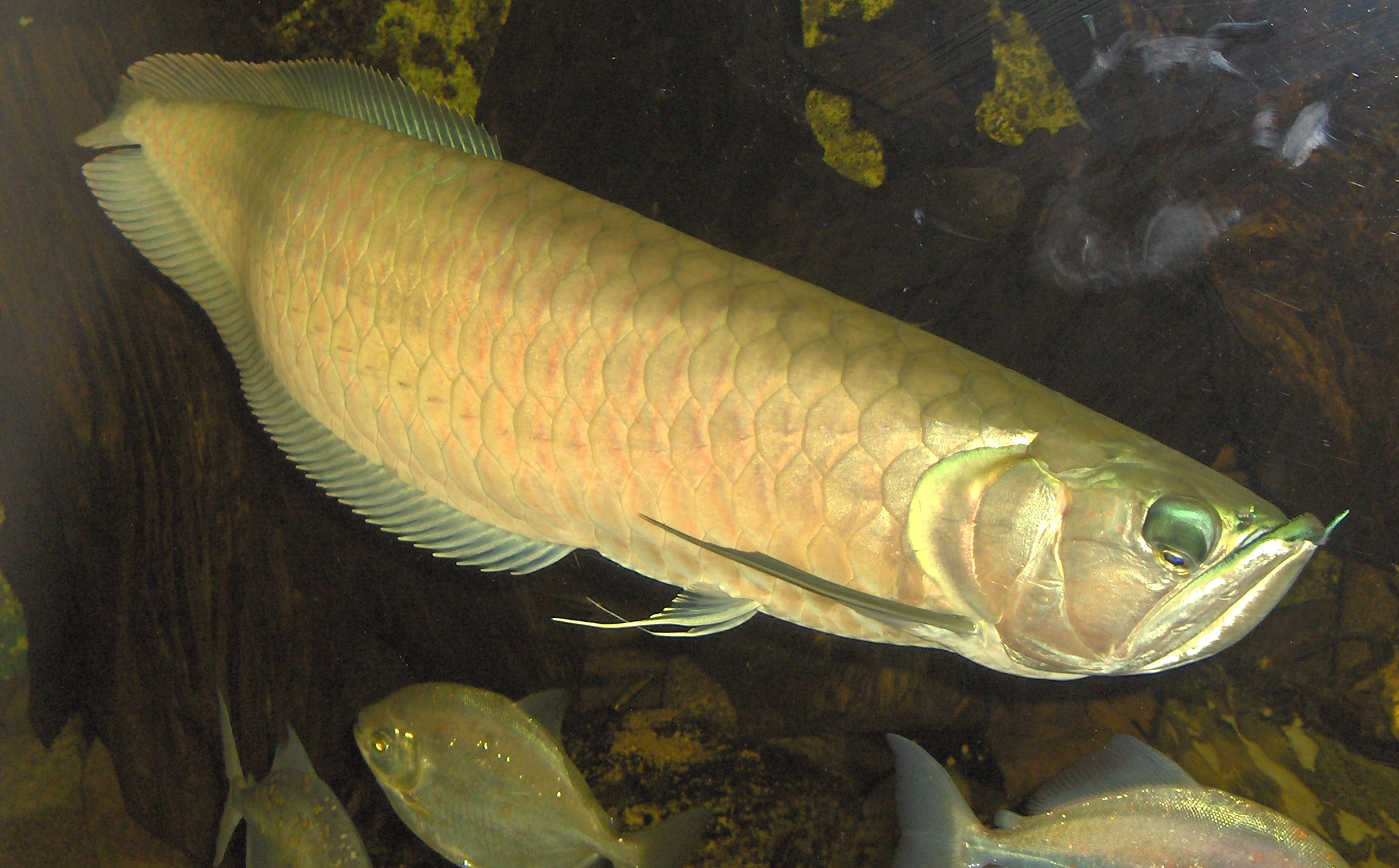 Fishy help arowana for Freshwater dragon fish