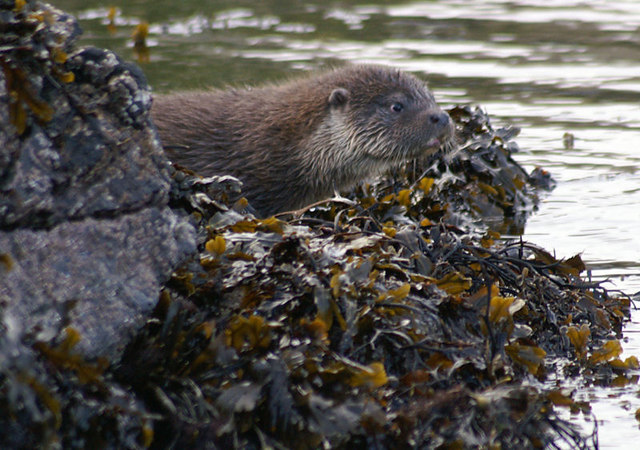 File:Otter cub at Skeo Taing - geograph.org.uk - 603494.jpg