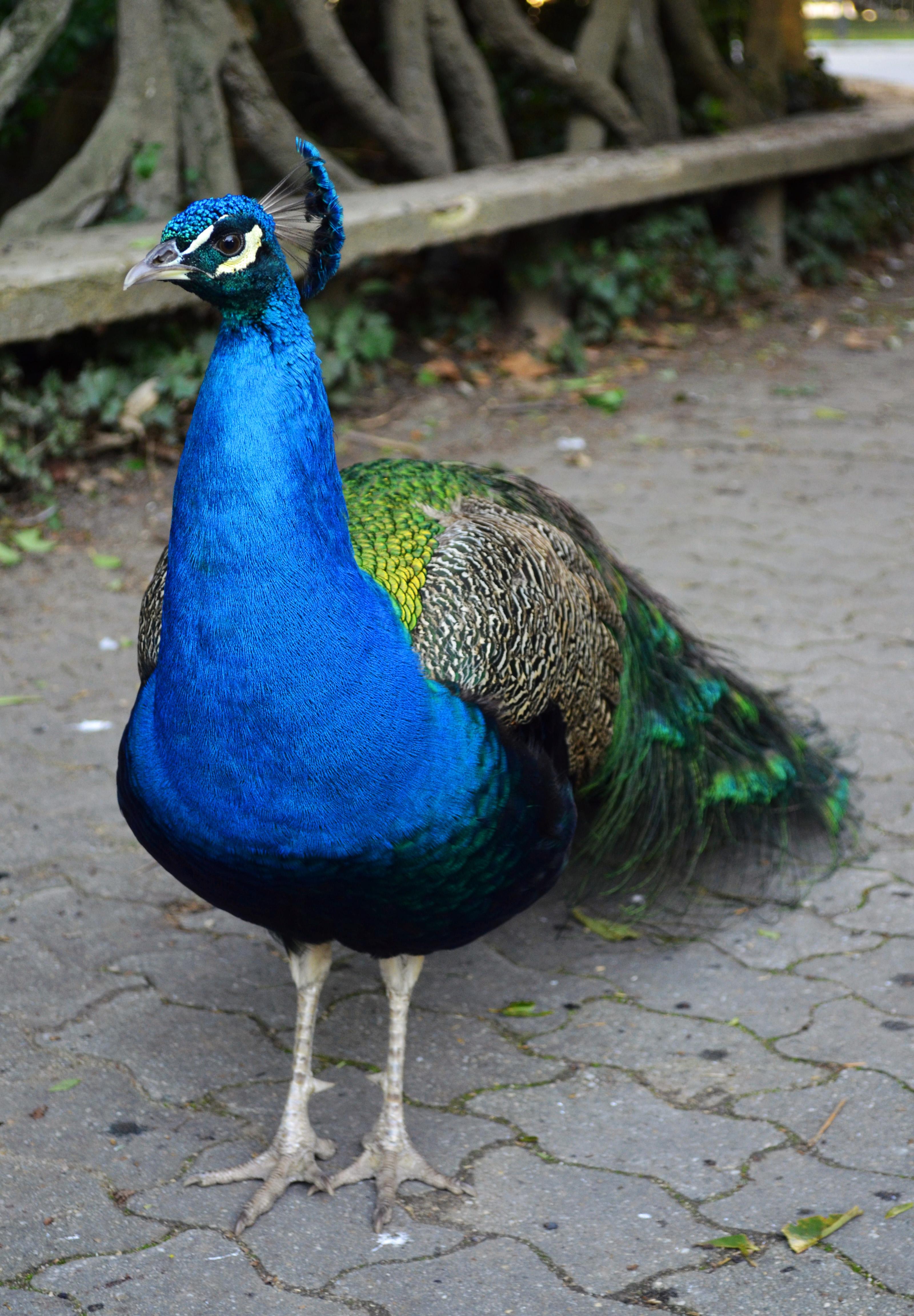 File pavo cristatus campo wikimedia commons - Fotos de un pavo real ...
