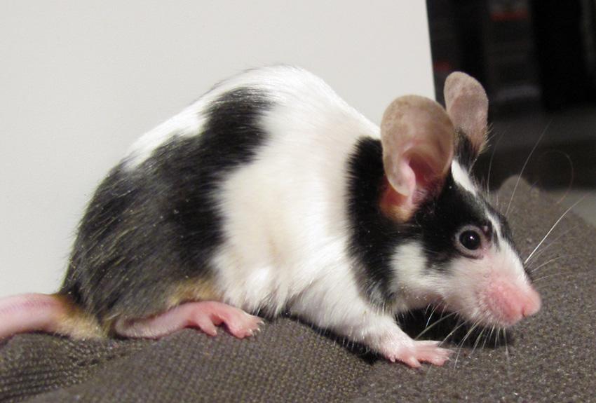 file pet mouse black white jpg wikimedia commons