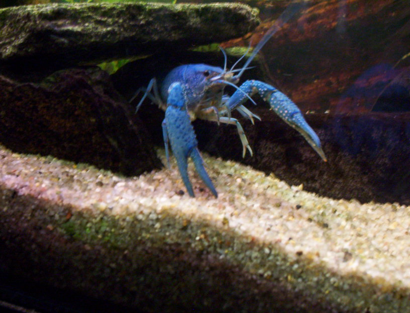 Risultati immagini per Procambarus alleni
