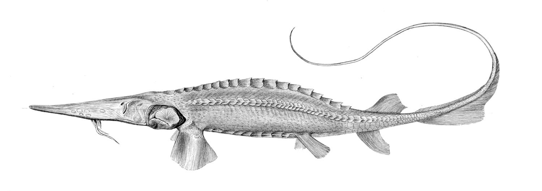 Сырдарьинский лжелопатонос (Pseudoscaphirhynchus fedtschenkoi), Рисунок картинка