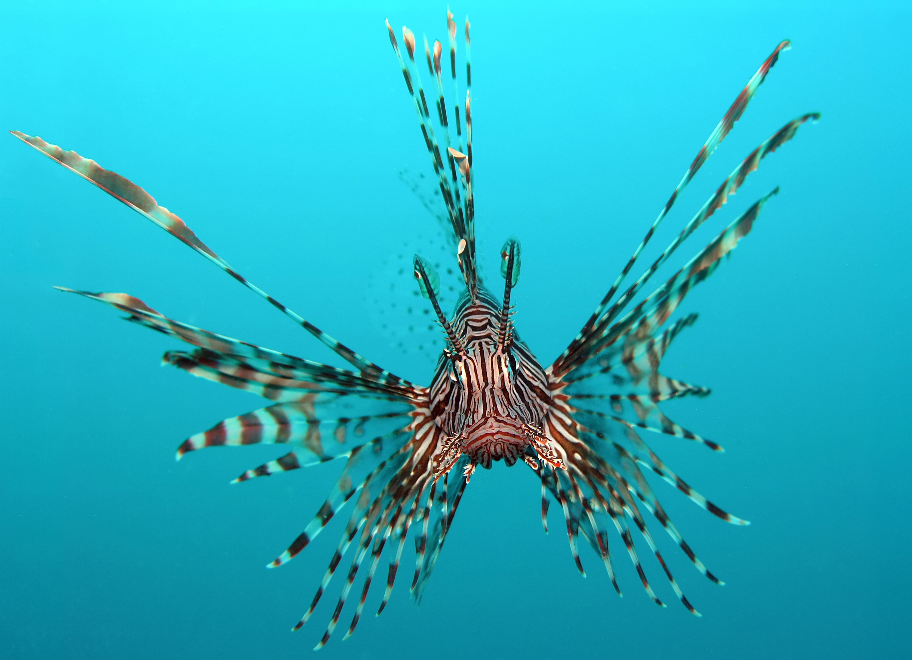 Freshwater fish kingdom - Head On View Of A Red Lionfish