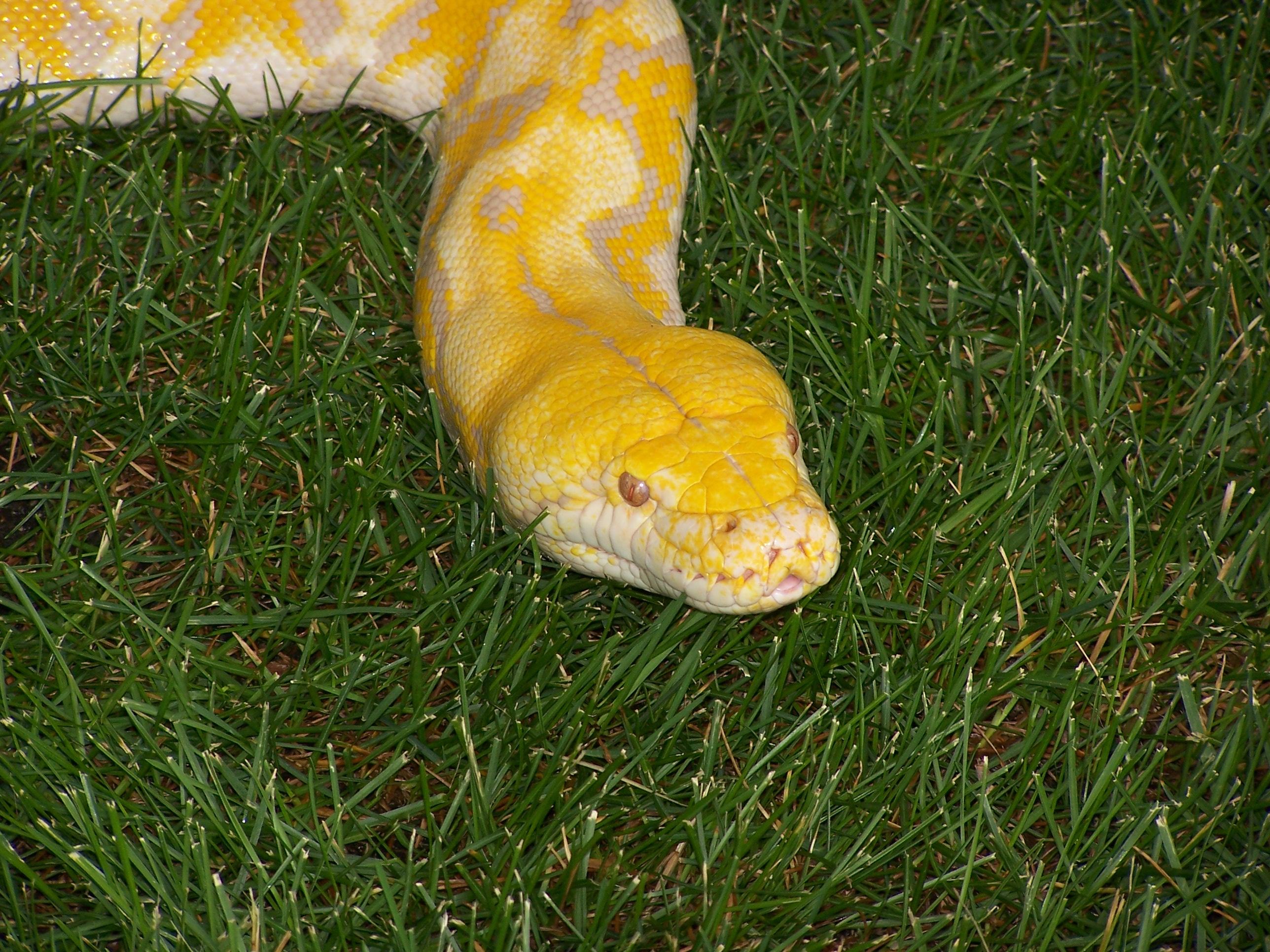 http://upload.wikimedia.org/wikipedia/commons/b/bf/Reticulated_python_albino_head_MN_2007.JPG