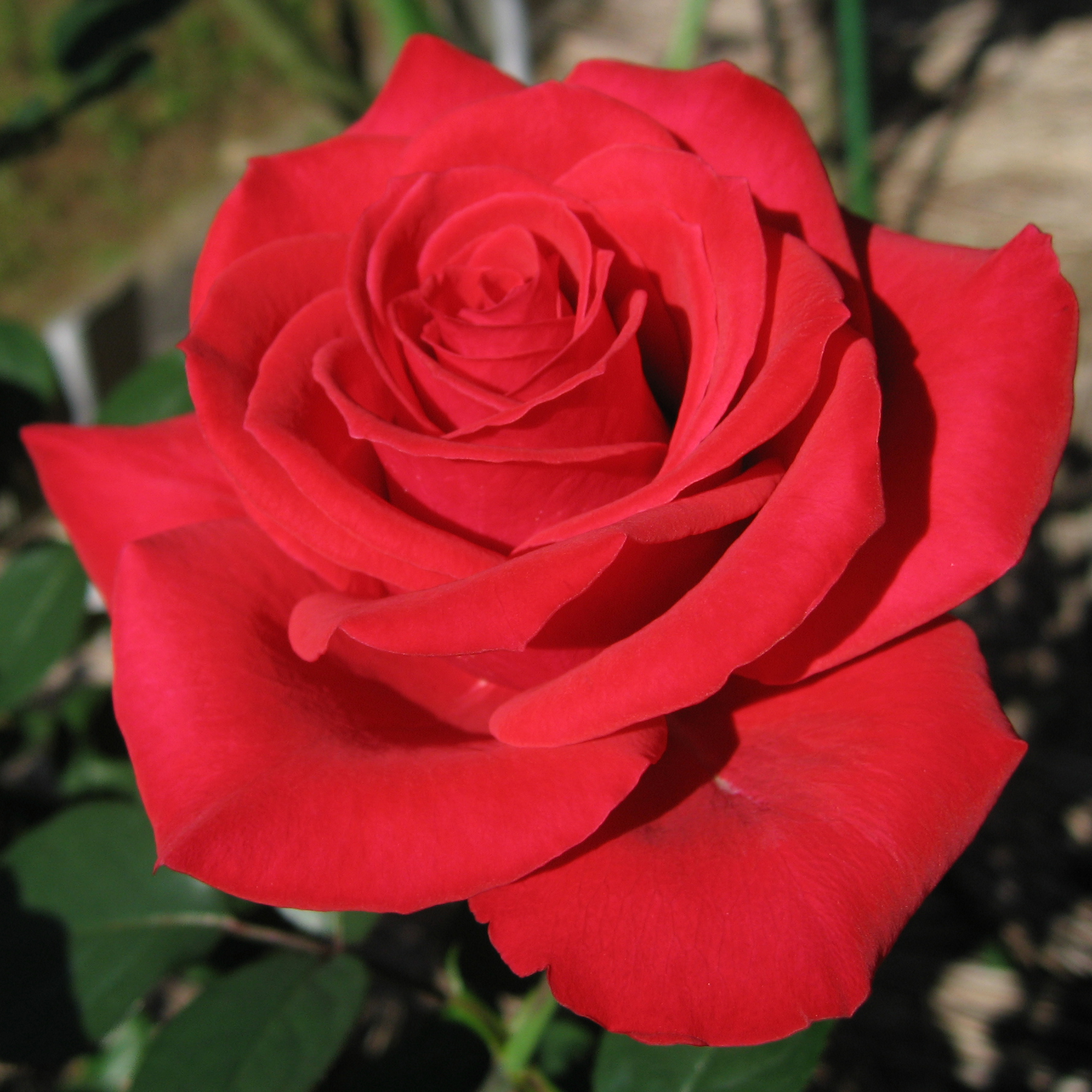 File:Rosa Red Chateau01.jpg