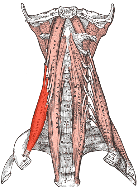 Musculus scalenus anterior – Wikipedia