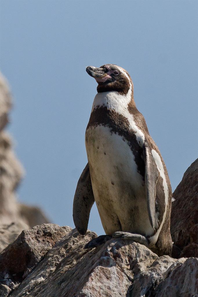 Humboldt penguin - Wikipedia