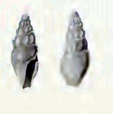 <i>Splendrillia suluensis</i> species of mollusc