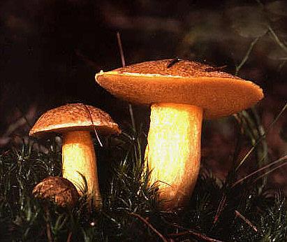 File:Suillus variegatus.jpg