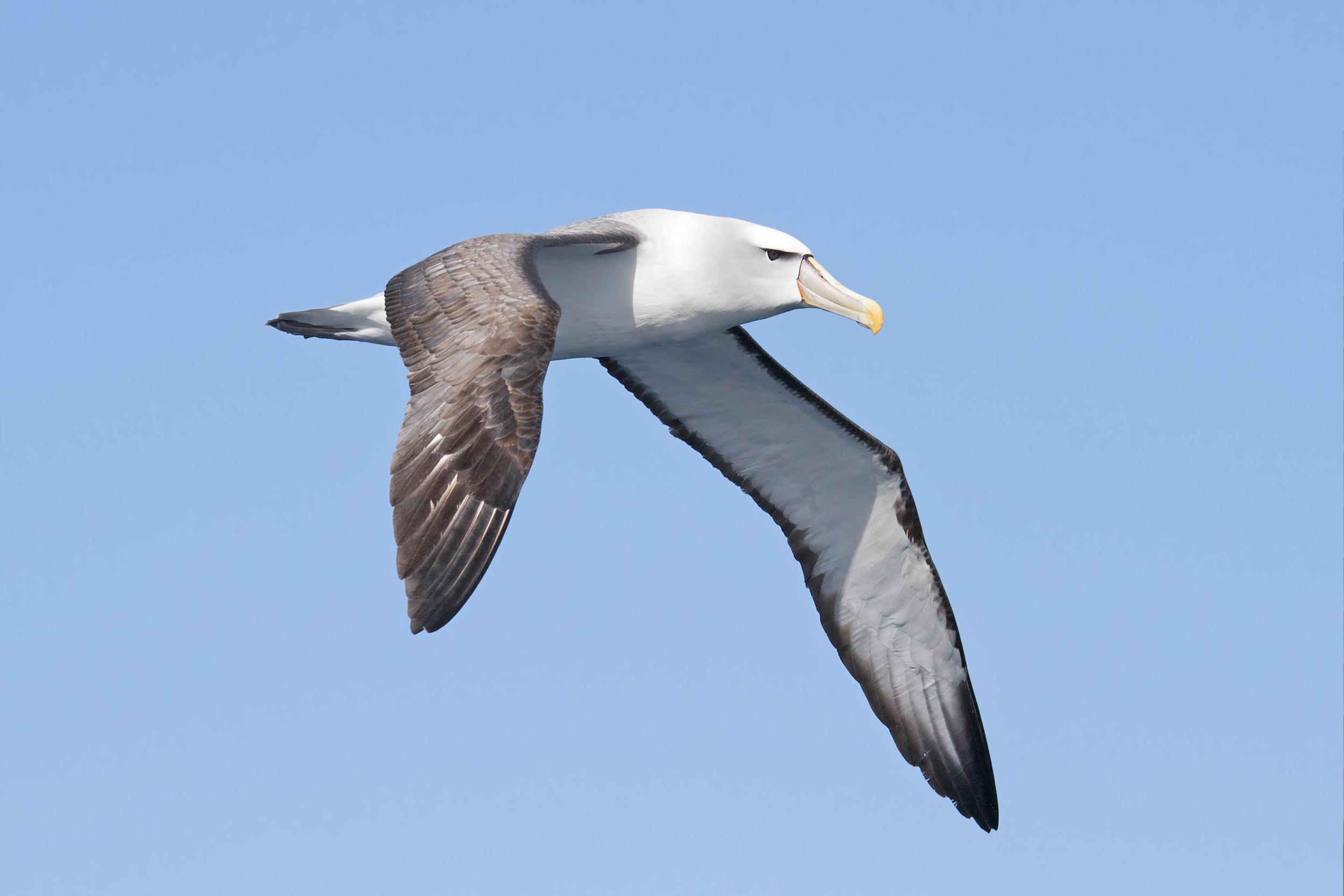 list of birds of tasmania wikipedia
