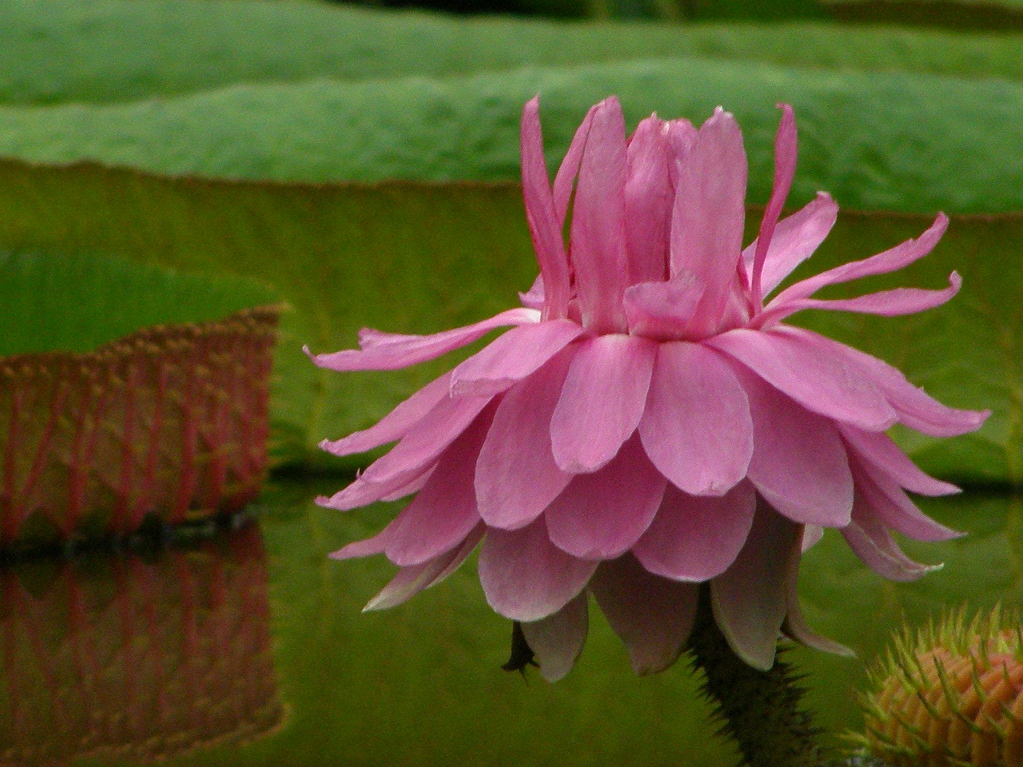 VƯỜN CÂY HOA ĐV I Victoria_amazonica_flower_head
