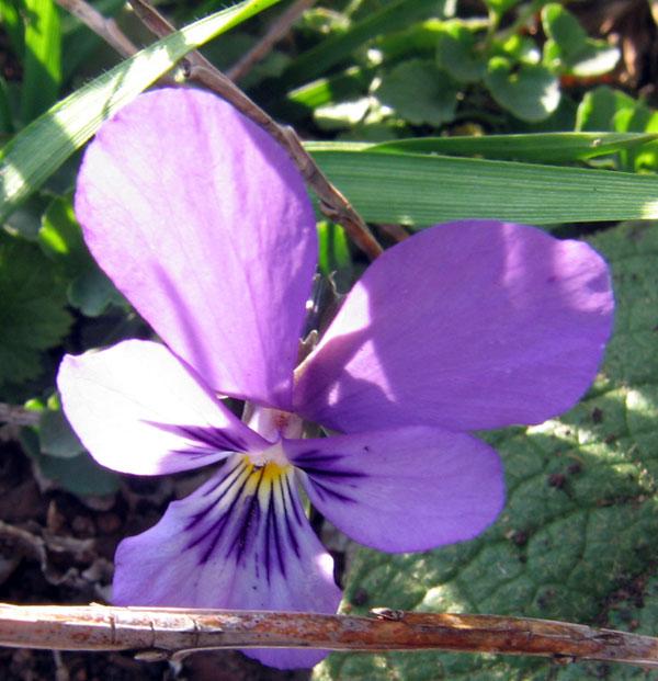 File:Viola ljubicica.jpg - Wikimedia Commons Ljubicica