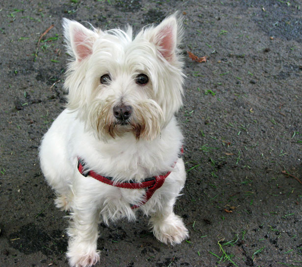 Westi Highland Dog For Sale Swansea