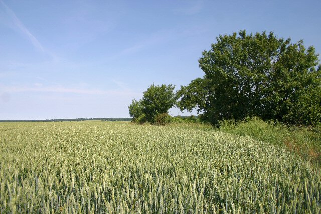 Wheatfield near Mickley Green - geograph.org.uk - 193803