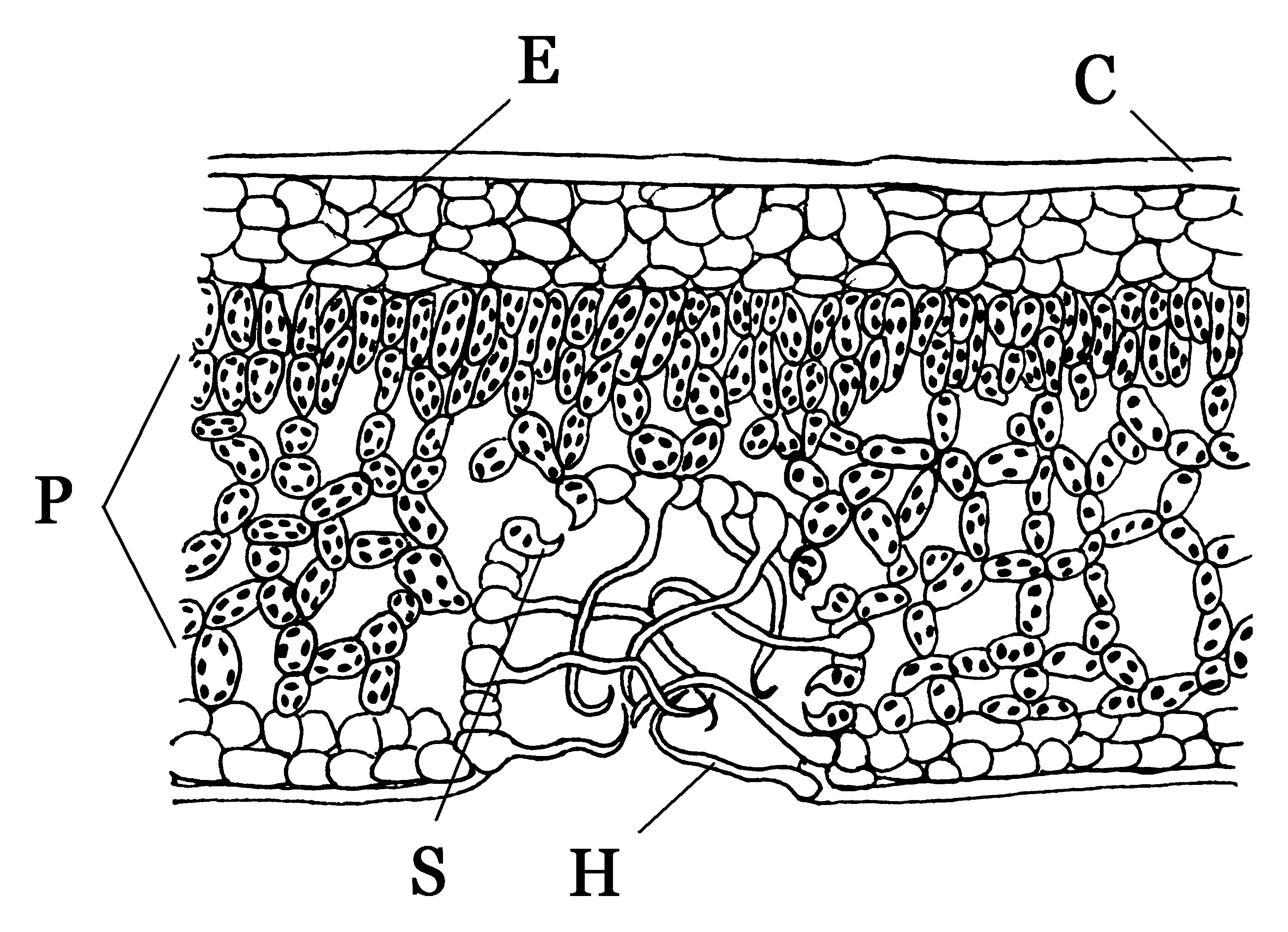 Blatt (Pflanze) – Wikipedia