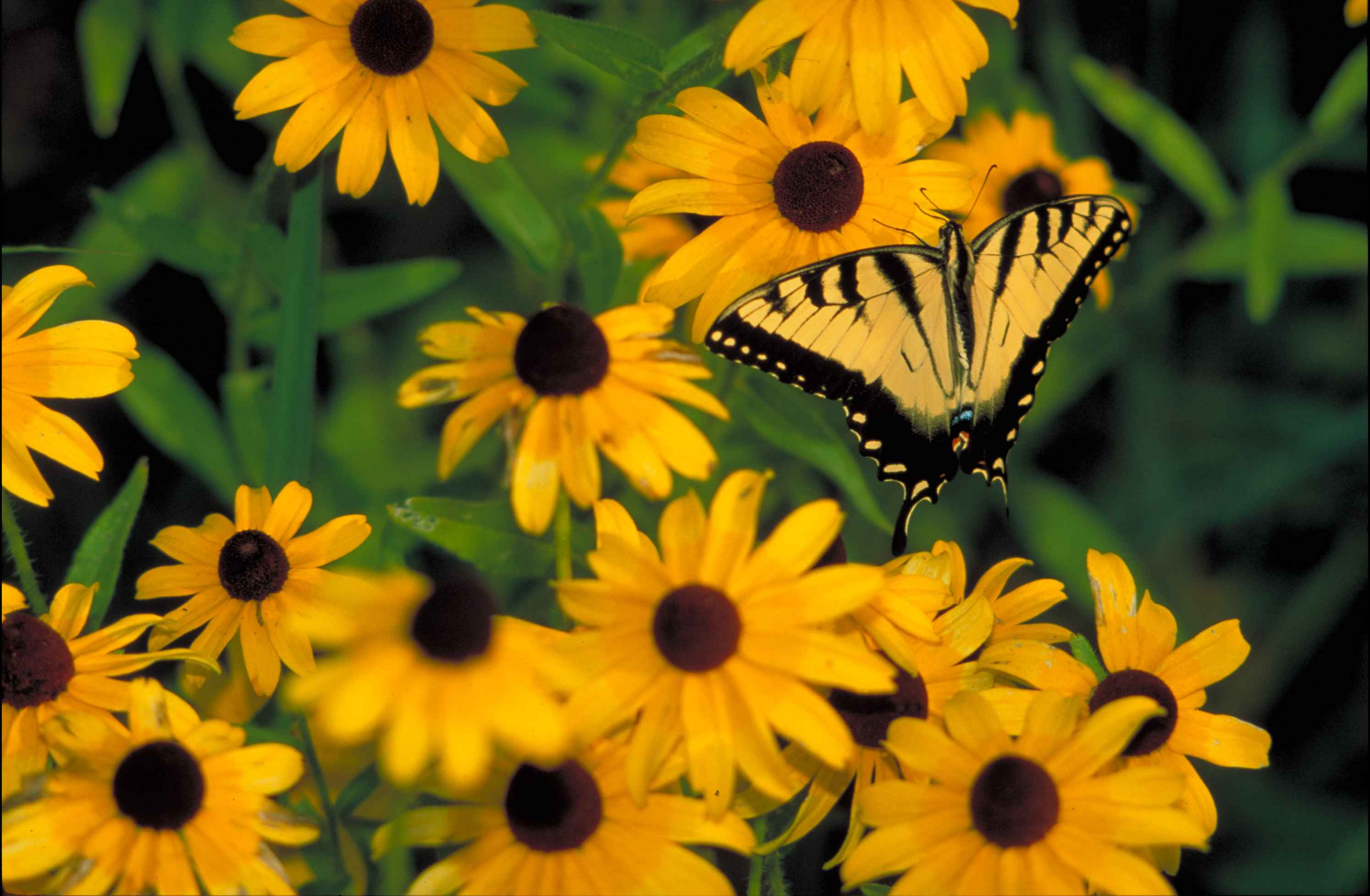 file yellow butterfly with black tiger stripes on wings sitting