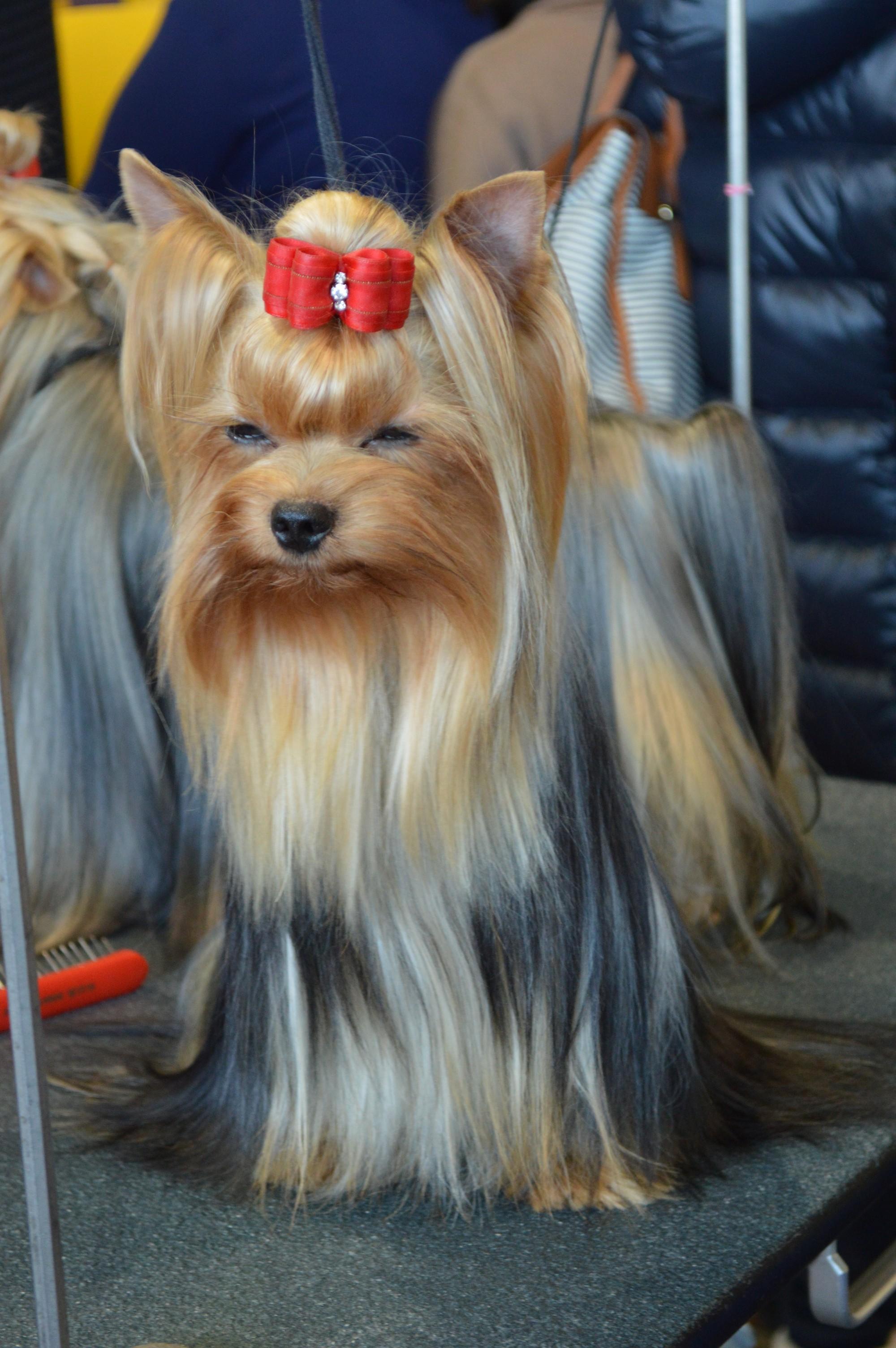 Fileyorkshire Terrier Ch Hunderwood Im So Chic 1 16398889939
