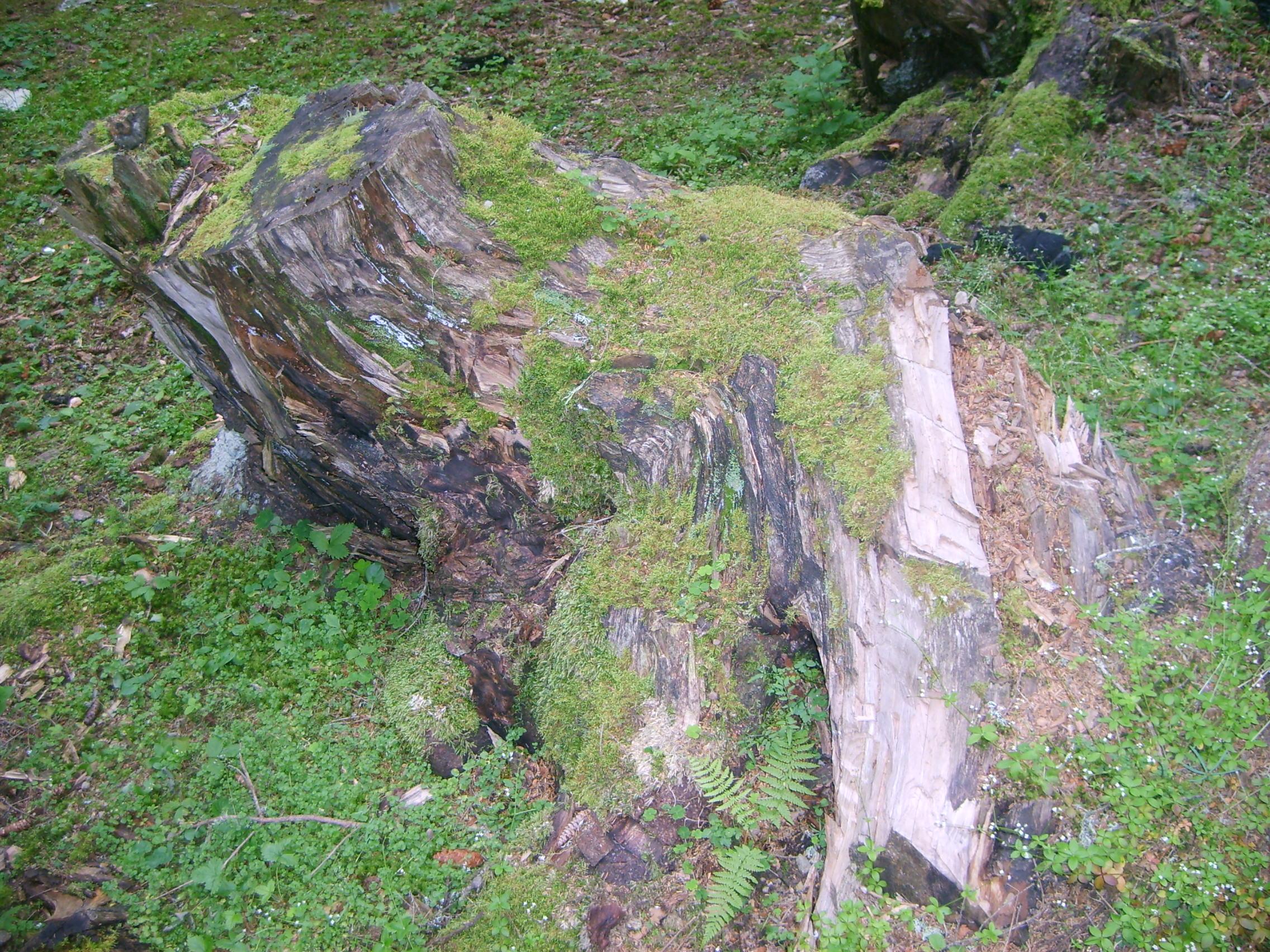 Description yosun tutmuş ağaç