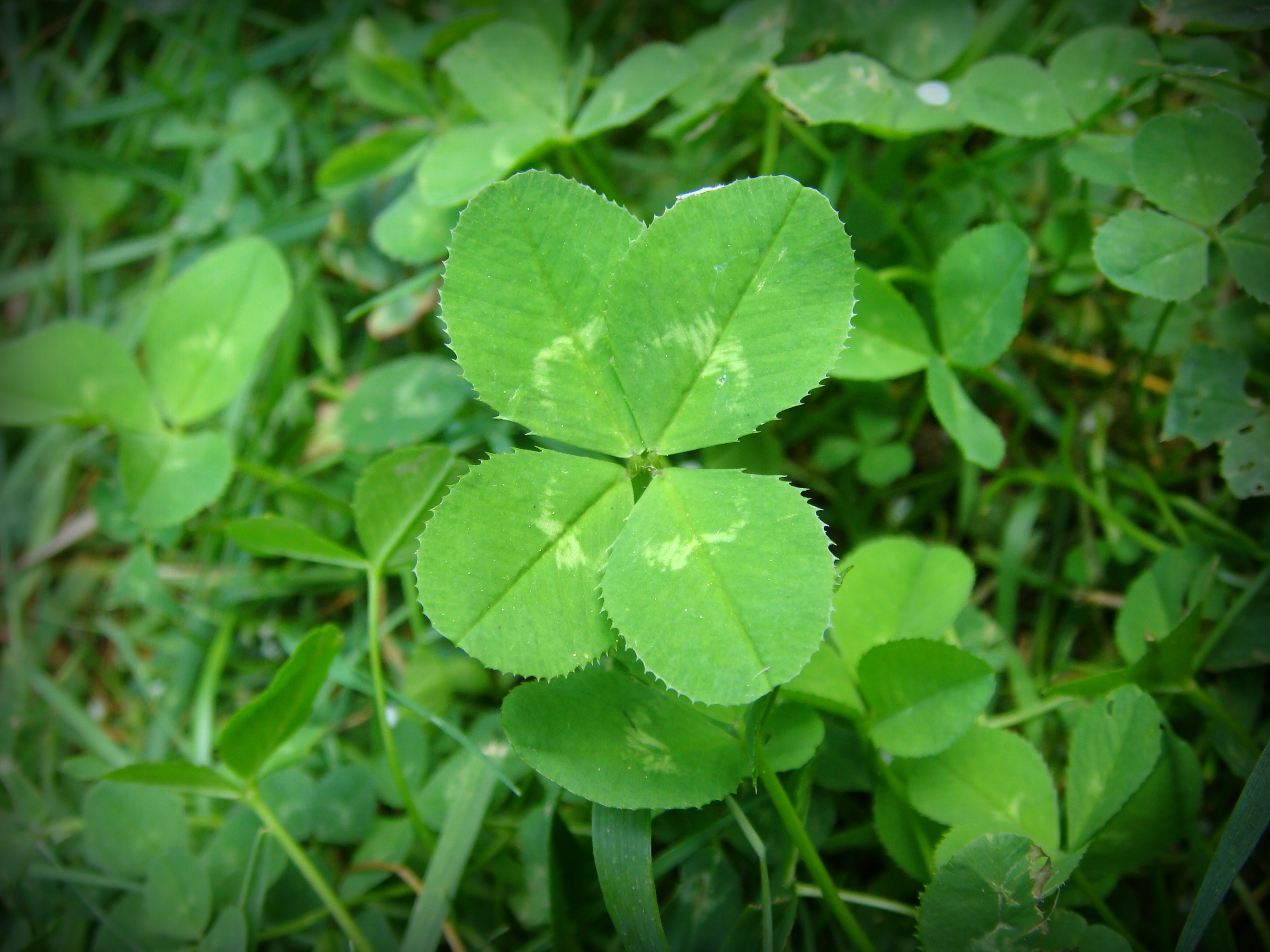 what to do with a four leaf clover