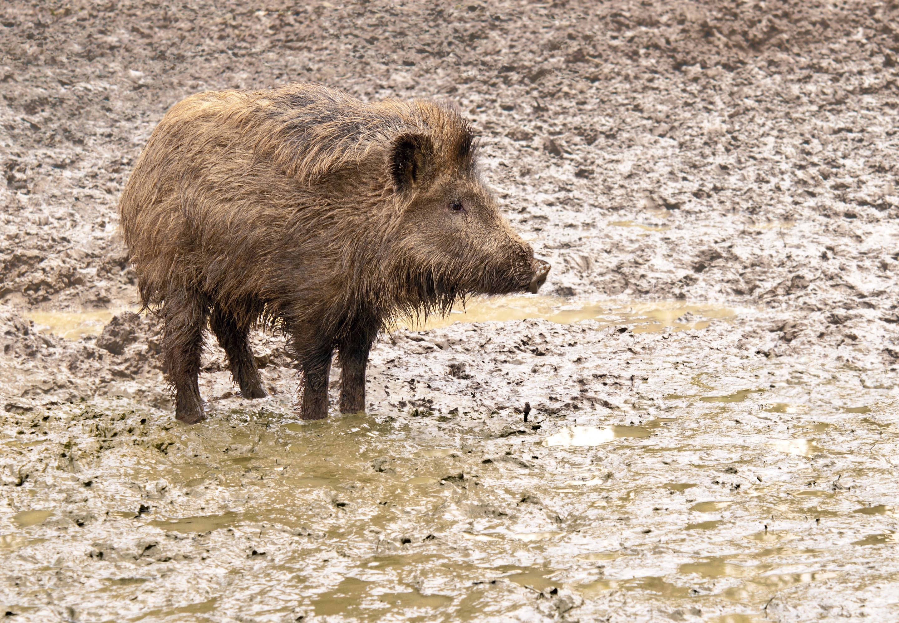 File:A young wild boar in his environment.jpg - Wikimedia Commons