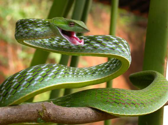 Pictures Of Snakes To Colour In. Green Vine Snake