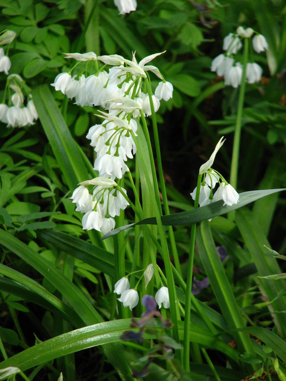 Resultado de imagen de Allium paradoxum