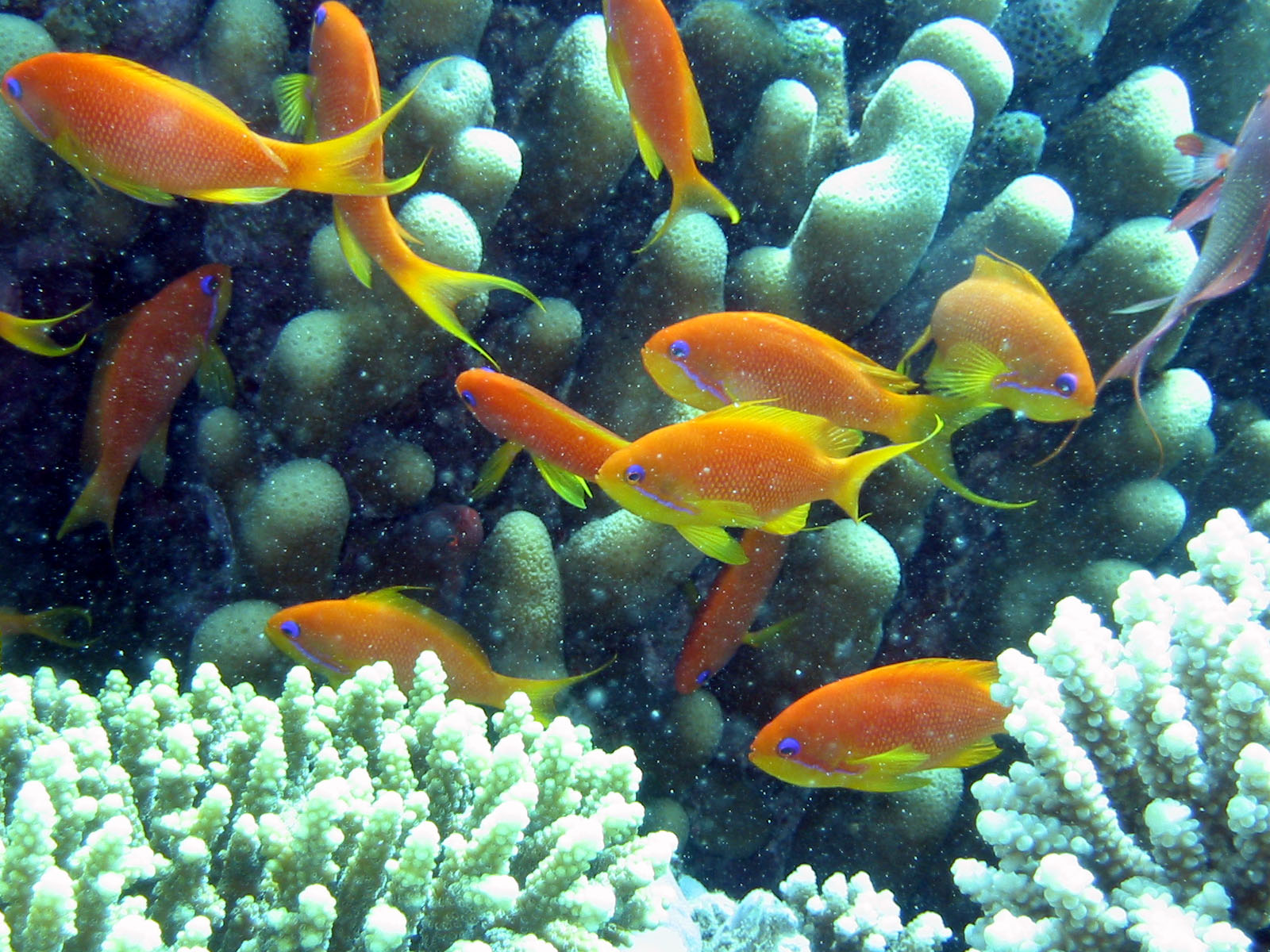 Coral reefs for What fish can live with goldfish