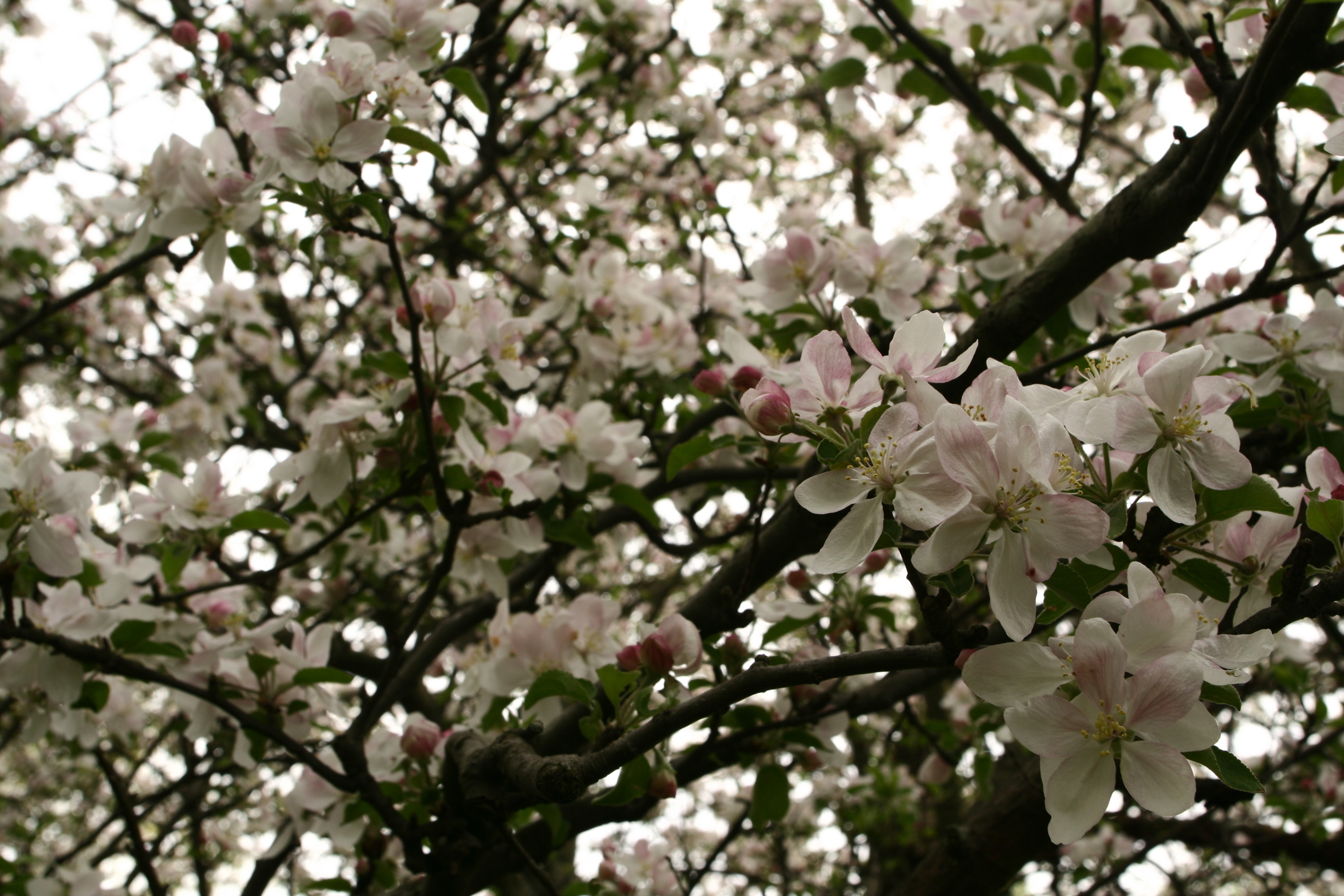 file apple tree blossoms west virginia. Black Bedroom Furniture Sets. Home Design Ideas