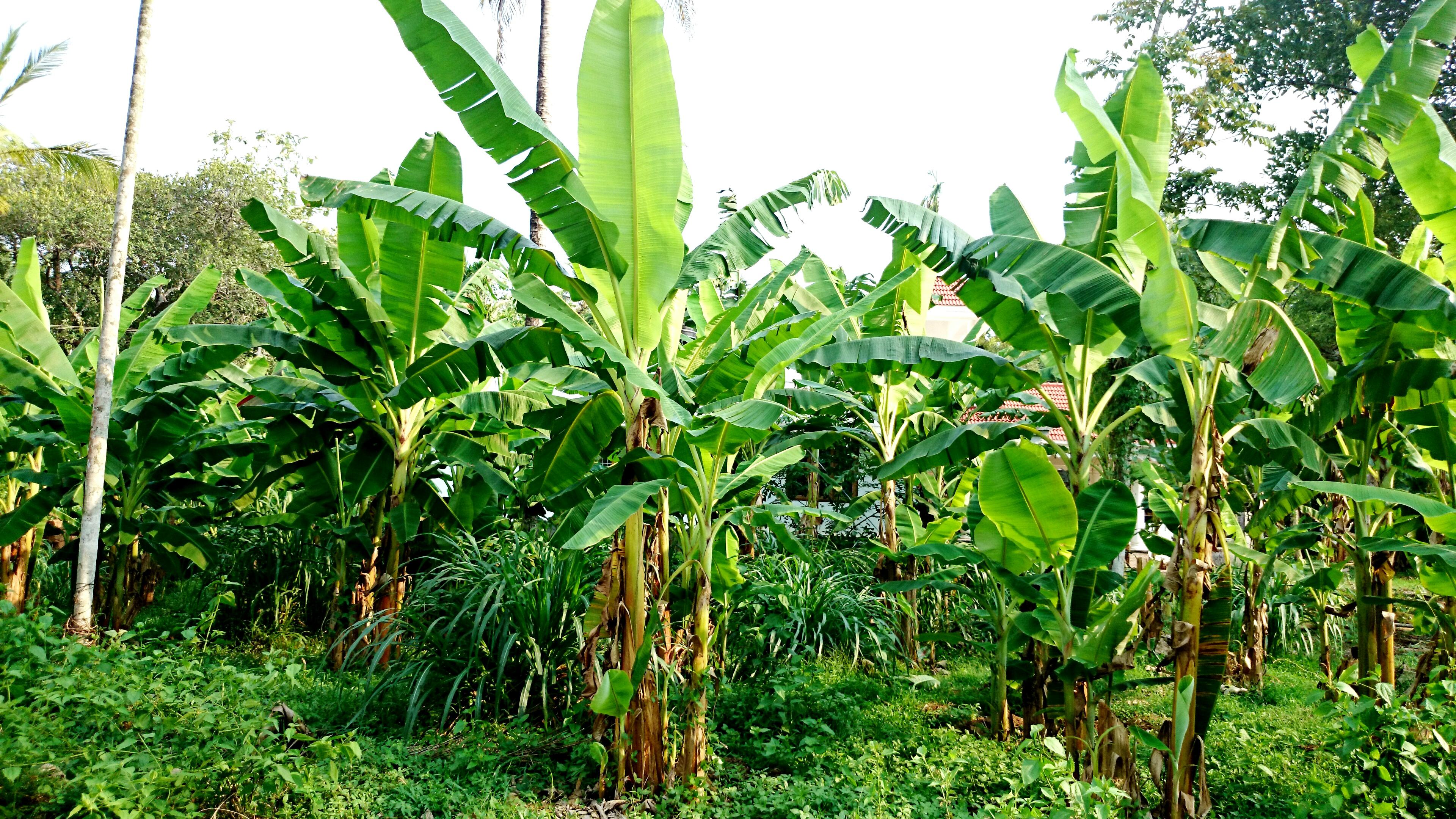 File:Banana plants (14044660825).jpg - Wikimedia Commons