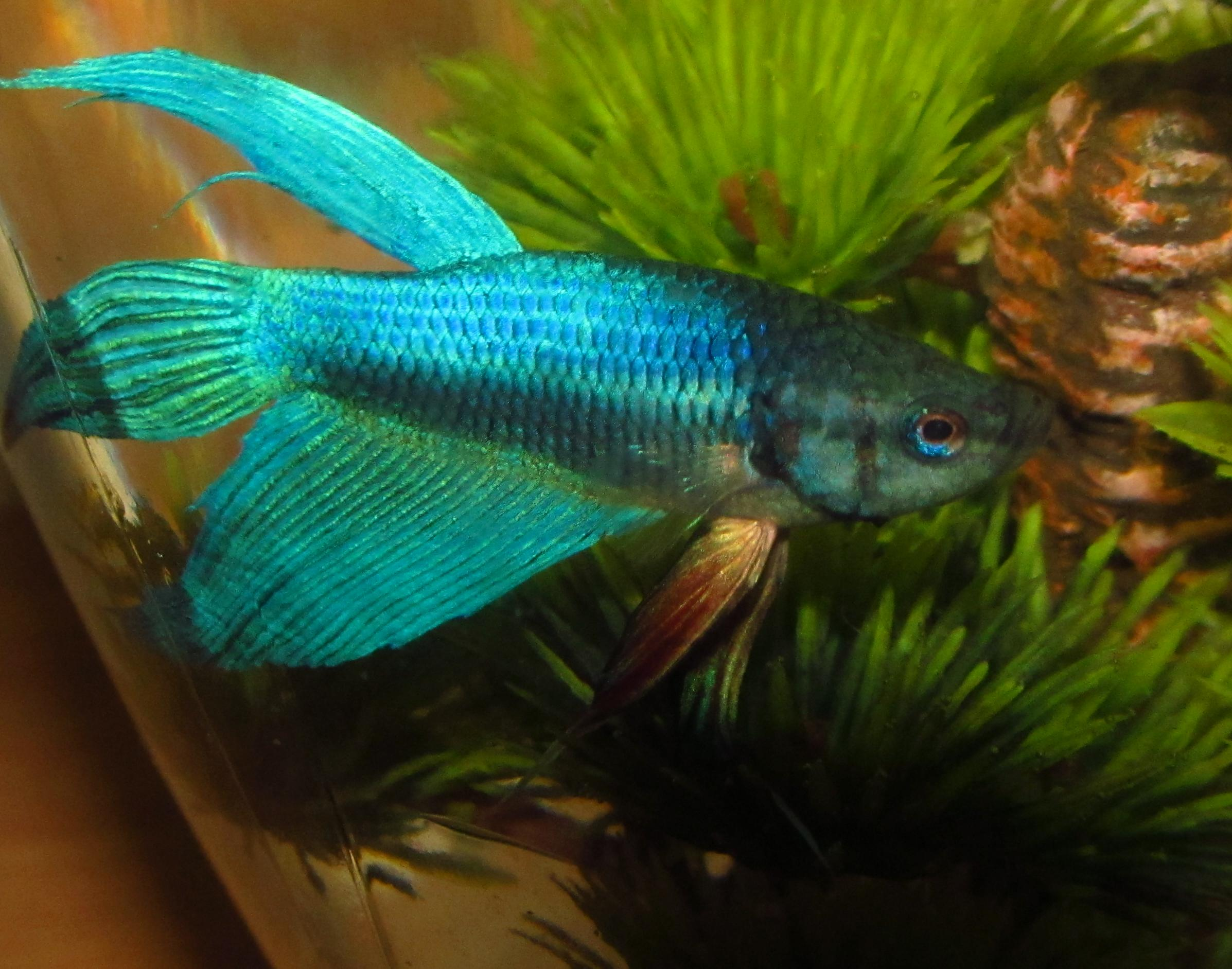 Blue Male Betta Fish