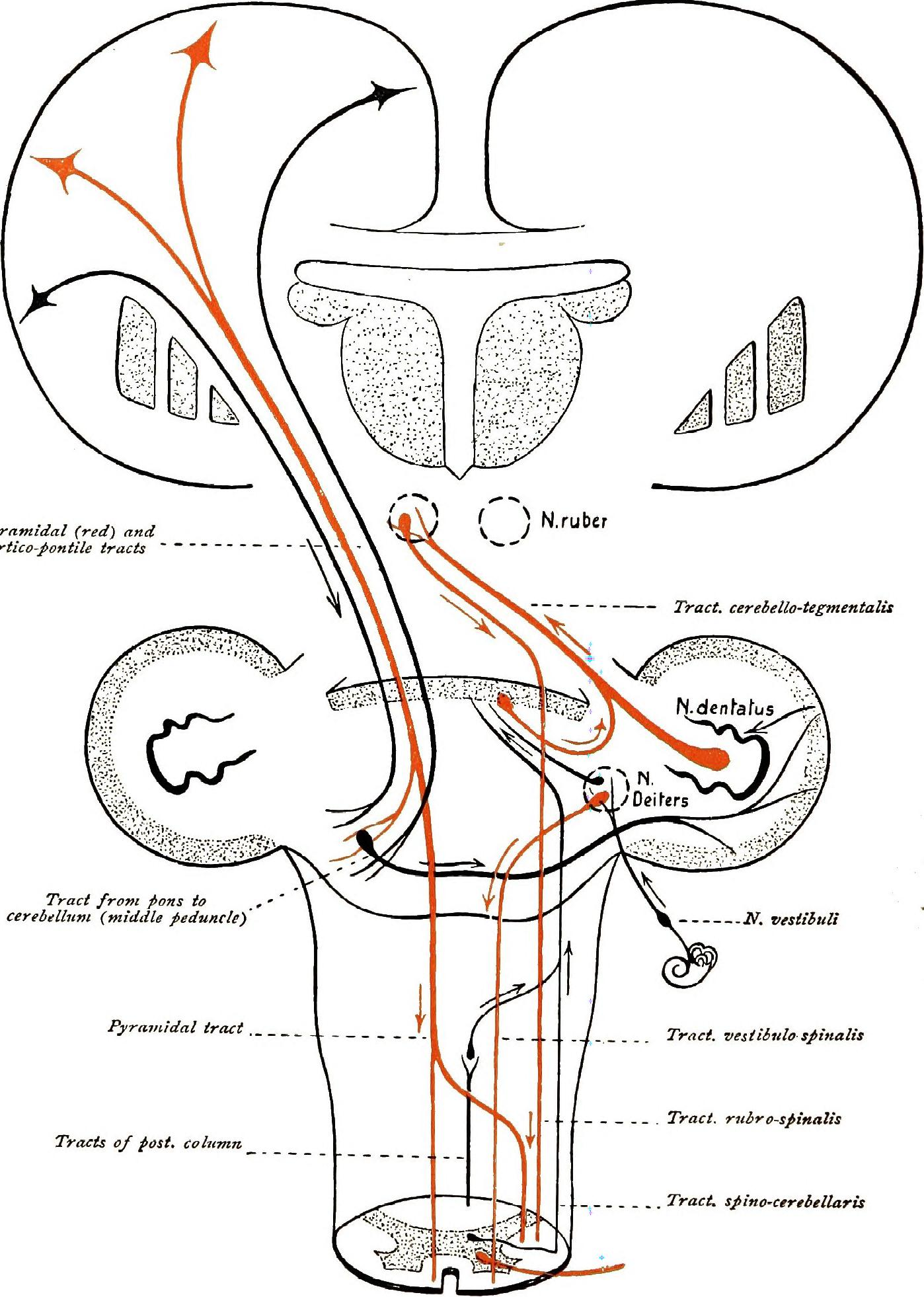 File Brain and spinal cord  a manual for the study of the morphology and fibre Tracts of the central nervous system  1912   14577681369 furthermore 10267254 moreover Ct Mri Of Central Nervous System besides hioxus further Chemistry Of Ltp And Ltd. on brain morphology
