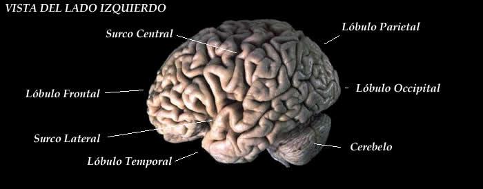 File:Brain diagram - viewed from left side - es.jpg ...