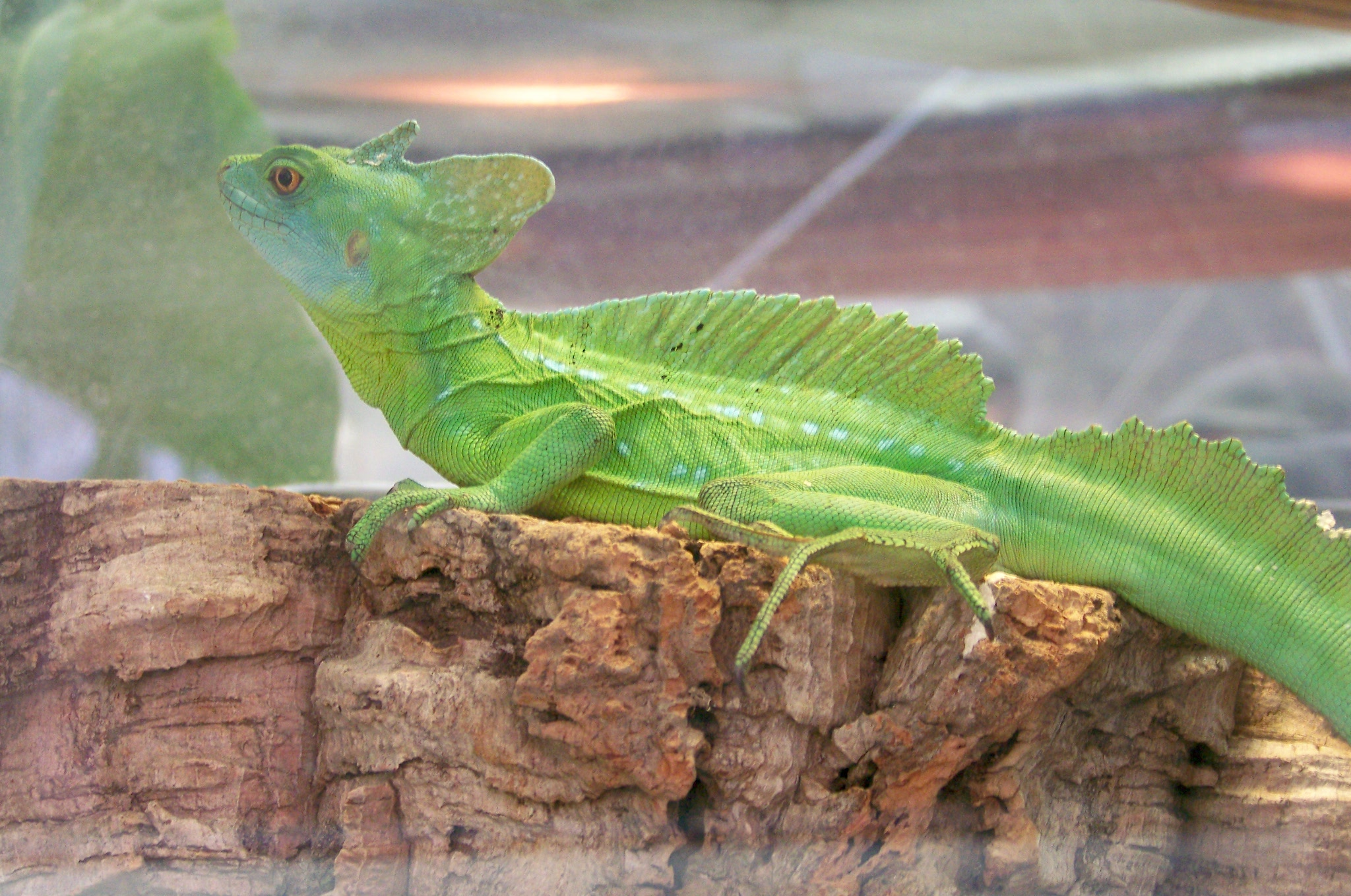 http://upload.wikimedia.org/wikipedia/commons/c/c0/CAS-BioD-Canopy-Green_Basilisk.JPG?uselang=fr