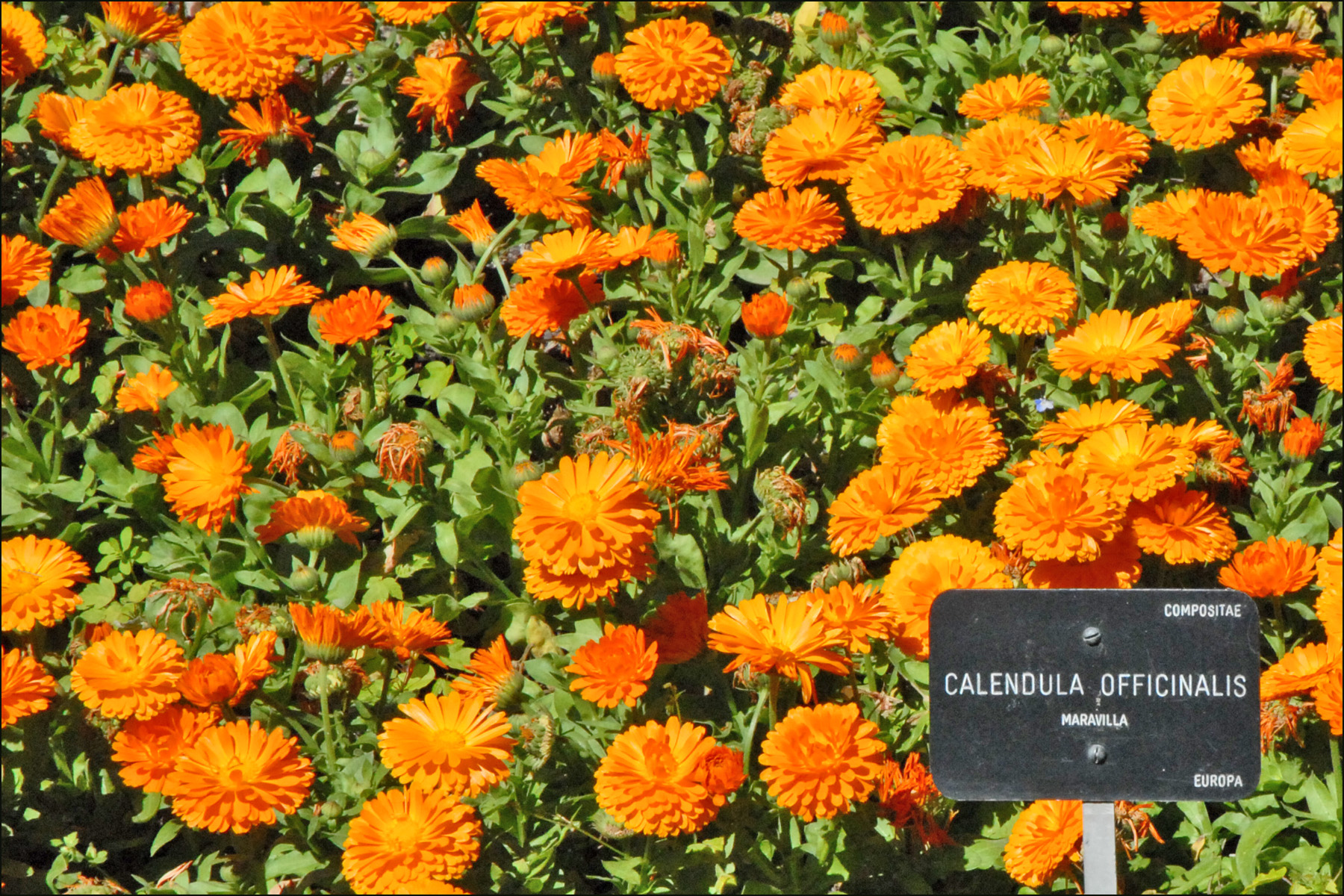 Calendula Officinalis (Real Jardin Botanico, Madrid) (4657015473).jpg