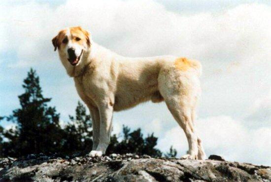 Central Asia Shepherd Dog.jpg