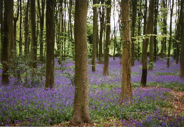 Cleeve, bluebell wood - geograph.org.uk - 62547