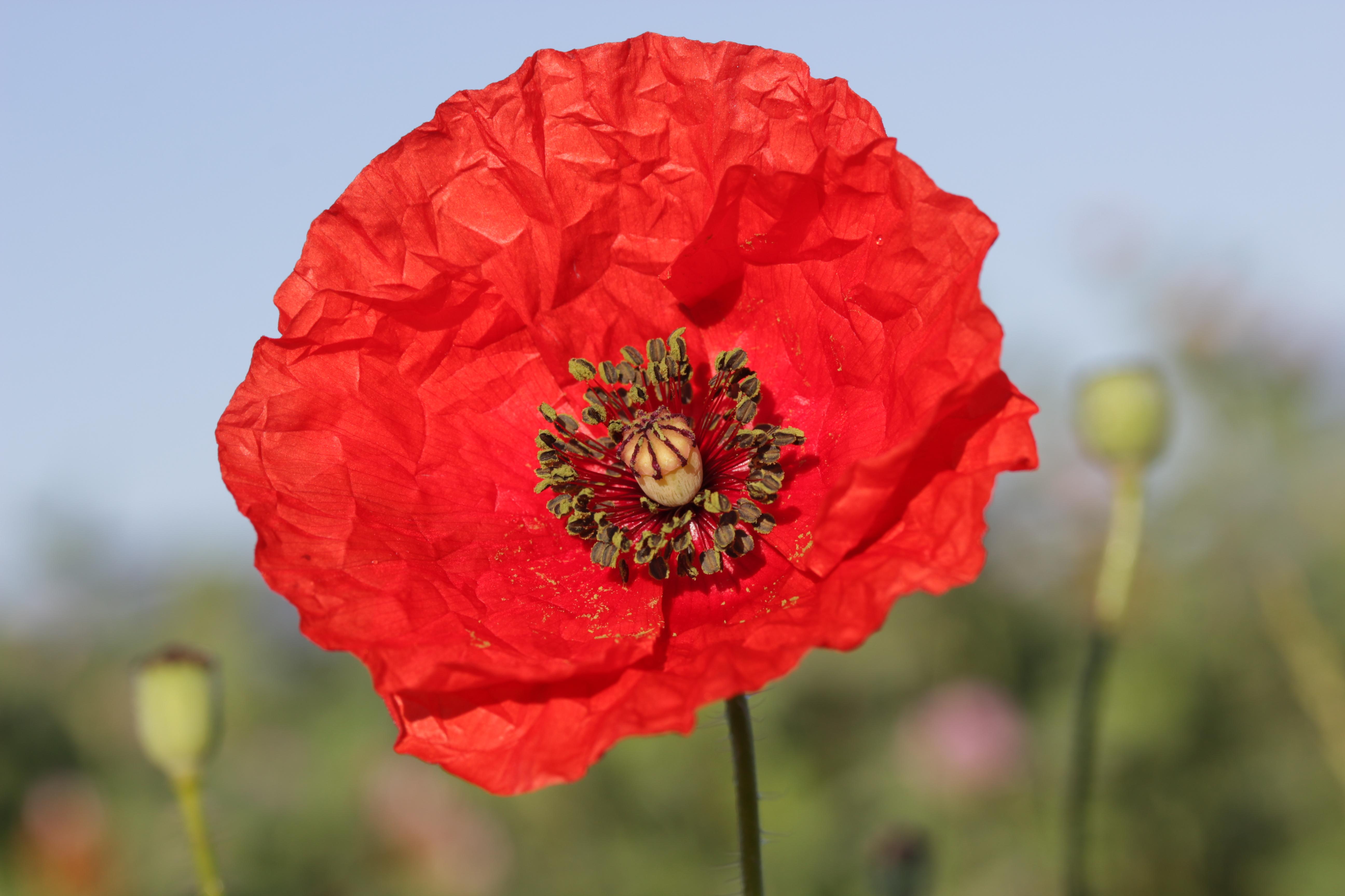 Common Poppy - Papaver rhoeas (18441384243).jpg