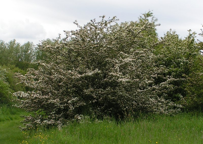 File:Common hawthorn.jpg